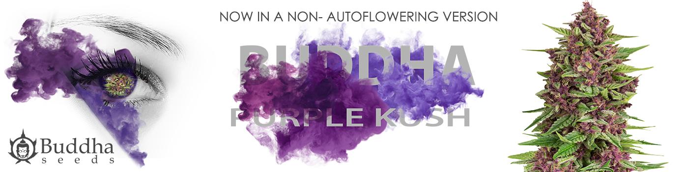 Buddha Purple Kush Non Auto
